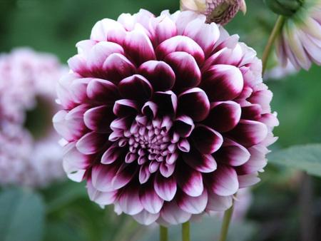 Как вырастить цветы георгины