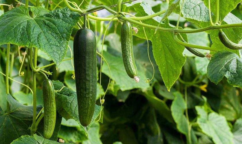 5cucumber-1619269_1920.jpg