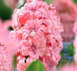 Заказать по почте цветы луковичные многолетние — pic 7
